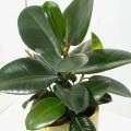 Ficus-Elastica-Robusta.jpg