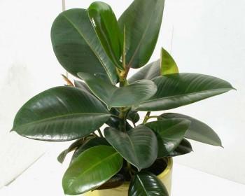 Приму в дар Фикус эластика - Ficus-Elastica-Robusta.jpg